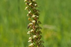Aceras anthropophorum Puppenorchis (3)